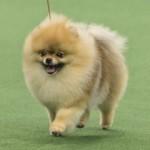 WKC_Toy_Pomeranian