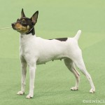 WKC_Toy_ToyFoxTerrier