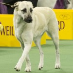 WKC_Working_Anatolian Shepherd Dog