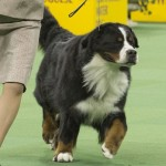 WKC_Working_Bernese Mountain Dog