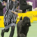 WKC_Working_Black Russian Terrier