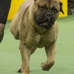 WKC_Working_Bullmastiff