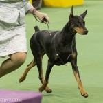 WKC_Working_Doberman Pinscher