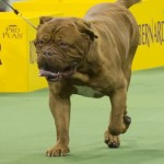 WKC_Working_Dogue de Bordeaux