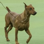 WKC_Working_German Pinscher