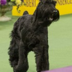 WKC_Working_Giant Schnauzer_2