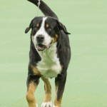 WKC_Working_Greater Swiss Mountain Dog