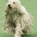 WKC_Working_Komondor