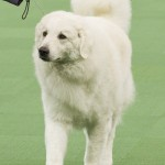 WKC_Working_Kuvasz