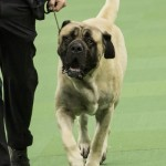 WKC_Working_Mastiff