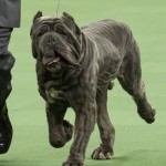 WKC_Working_Neapolitan Mastiff