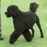 WKC_Working_Portuguese Water Dog