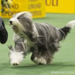 WKC_Herding_Bearded Collie