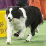 WKC_Herding_Border Collie