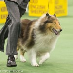 WKC_Herding_Collie (rough)