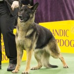 WKC_Herding_German Shepherd Dog