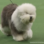 WKC_Herding_Old English Sheepdog