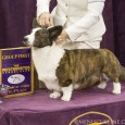 Last year's champion and crowd favorite, a jovial Old English Sheepdog, managed just fourth place in a Herding Group won by a Cardigan Welsh Corgi.