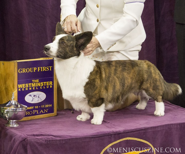 First place, Herding Group: GCH Riverside Telltail Coco Posh Breed: Cardigan Welsh Corgi (photo by Kwai Chan / Meniscus Magazine)