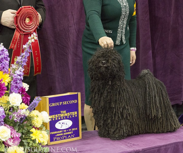 Second place, Herding Group: GCH Cordmaker Topsy Turvey Breed: Puli (photo by Kwai Chan / Meniscus Magazine)