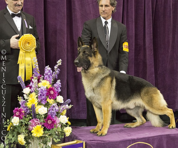 Third place, Herding Group: GCH Wolf Creek Galaxy Of Merivern Breed: German Shepherd Dog (photo by Kwai Chan / Meniscus Magazine)