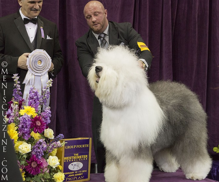 Fourth place, Herding Group: GCH Bugaboo's Picture Perfect Breed: Old English Sheepdog (photo by Kwai Chan / Meniscus Magazine)