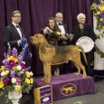 With last year's Best of Hound Group winner retiring after her November win at the Purina National Dog Show in Philadelphia, 2014 was up for grabs.