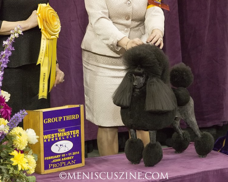 GCH Living In The Fast Lane Breed: Poodle (Miniature) (photo by Kwai Chan / Meniscus Magazine)