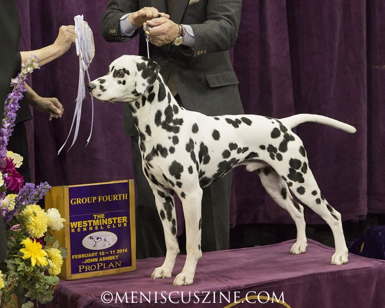 GCH Spotted Bliss Oreo Delight Breed: Dalmatian (photo by Kwai Chan / Meniscus Magazine)