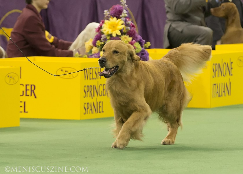 GCH Kalm Sea's To Have And To Hold Breed: Retriever (Golden) (photo by Kwai Chan / Meniscus Magazine)