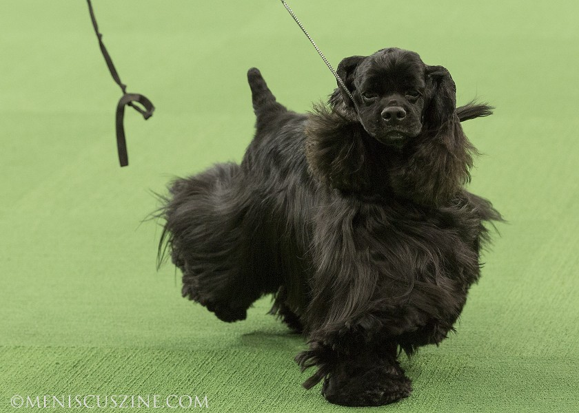 Ch Casablanca's Thrilling Seduction Breed: Spaniel (Cocker) Black (photo by Kwai Chan / Meniscus Magazine)
