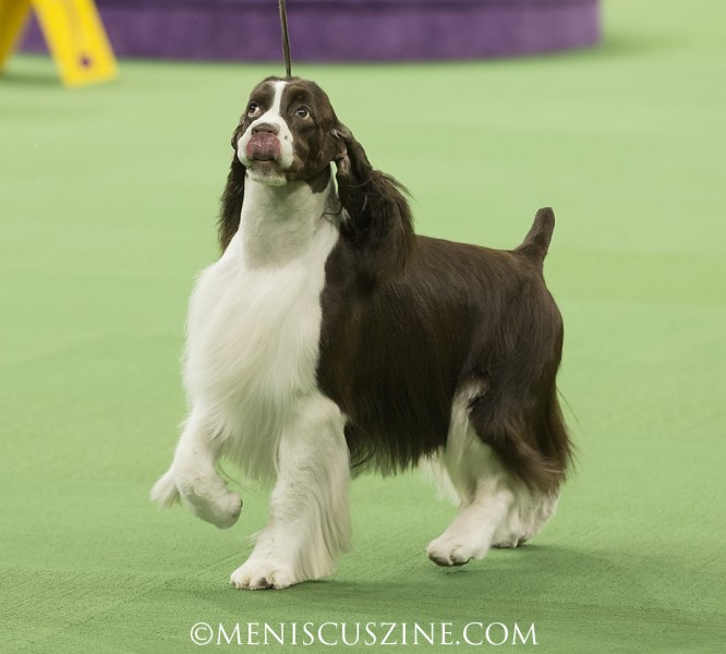 Ch Telltale American Ride Breed: Spaniel (English Springer) (photo by Kwai Chan / Meniscus Magazine)