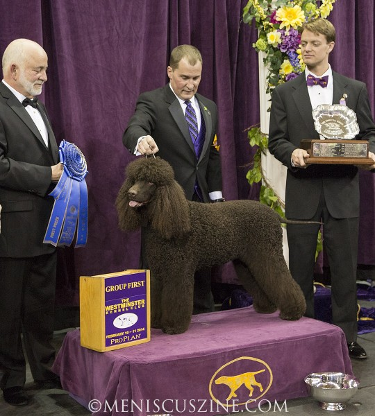 GCH Whistlestop's Riley On Fire Breed: Spaniel (Irish Water) (photo by Kwai Chan / Meniscus Magazine)