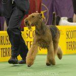 WKC_BestinGroup_Terrier_03
