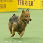 WKC_BestinGroup_Terrier_05