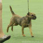 WKC_BestinGroup_Terrier_08