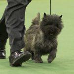 WKC_BestinGroup_Terrier_11