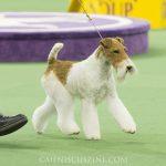 WKC_BestinGroup_Terrier_16