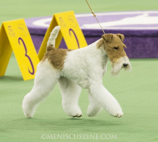 Westminster Best of Terrier Group winner Sky in competition at Madison Square Garden. (photo by Kwai Chan / Meniscus Magazine)