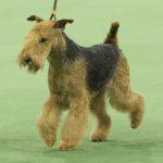 WKC_BestinGroup_Terrier_19