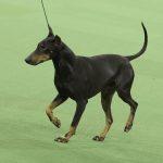 WKC_BestinGroup_Terrier_20