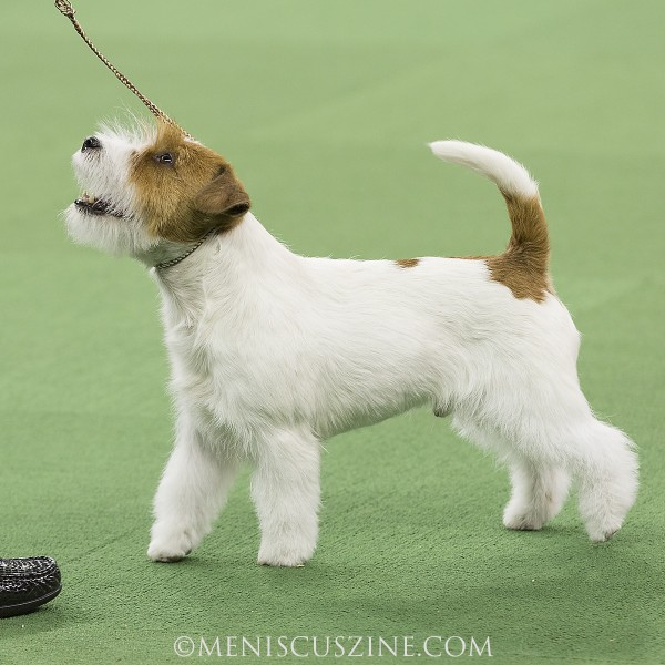 2014 Best of Terrier Group (fourth place): GCH Goldsand's Columbus Breed: Russell Terrier (photo by Kwai Chan / Meniscus Magazine)