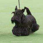 WKC_BestinGroup_Terrier_30