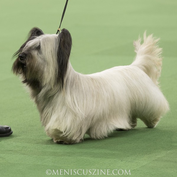 GCH Cragsmoor Good Time Charlie, runner-up in the Terrier Group. (photo by Kwai Chan / Meniscus Magazine)
