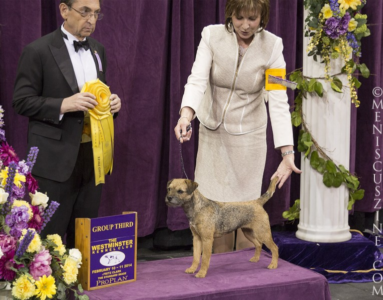2014 Best of Terrier Group (third place): GCH Meadowlake Simply Sinful Breed: Border Terrier (photo by Kwai Chan / Meniscus Magazine)