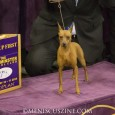 With no defending champion - the 2013 winner went on to win Best in Show - the title was up for grabs.  Leading the way was Classie, a miniature pinscher.