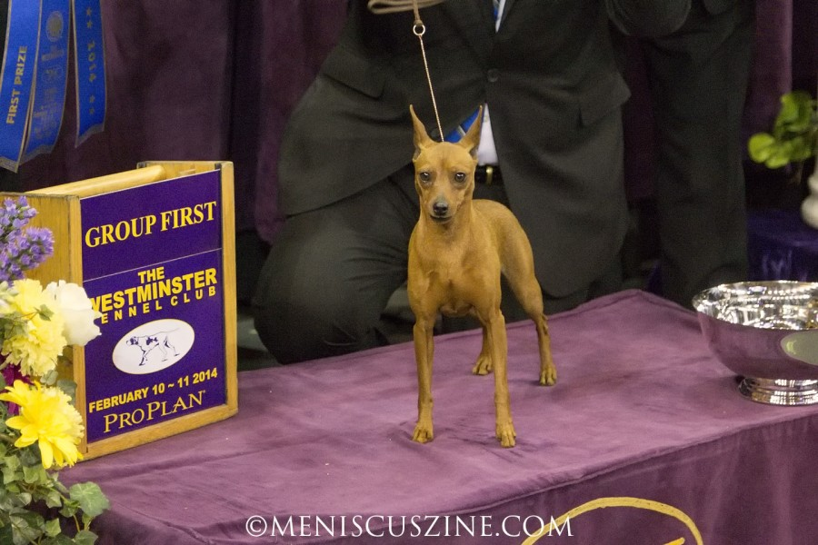 Classie came in second in the Toy Group competition at the 2013 Westminster Dog Show. (photo by Kwai Chan / Meniscus Magazine)