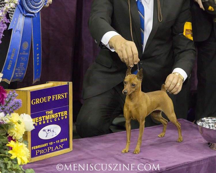 1st Place: GCH Marlex Classic Red Glare Breed: Miniature Pinscher (photo by Kwai Chan / Meniscus Magazine)