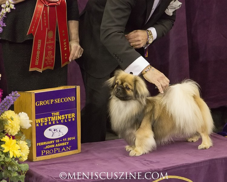 GCH Grantilley Galaxy Moon Breed: Cavalier King Charles Spaniel (photo by Kwai Chan / Meniscus Magazine)