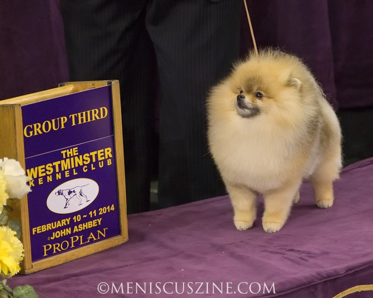 3rd Place: GCH CR Chase What Matters Breed: Pomeranian (photo by Kwai Chan / Meniscus Magazine)
